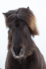 Portrait eines jungen Islandpferds mit dicker Mähne