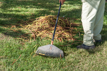 gardener rake dry leaves from a green grass