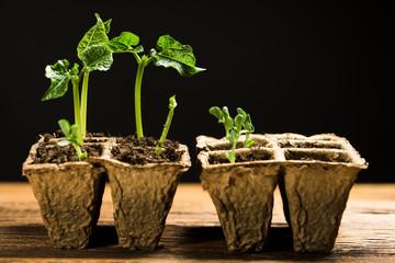 seedlings in peat pots. Baby plants seeding, black background
