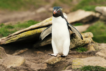 Close up of Southern rockhopper penguin hopping from the rocks