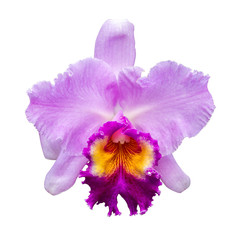 Cattleya or Cattleya John Lindley, Beautiful  flower isolated with white background, Thailand.
