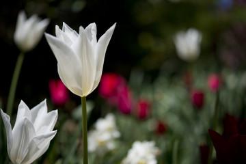 White Tulip