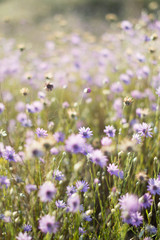 lilac flowers, purple flowers, wild flowers, field, summer, spring, nature