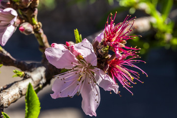 Close up of blooming cherry blossom
