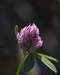 flower pink clover on blurred dark background.