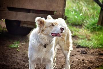 Cão pastor da ilha Terceira, Açores.