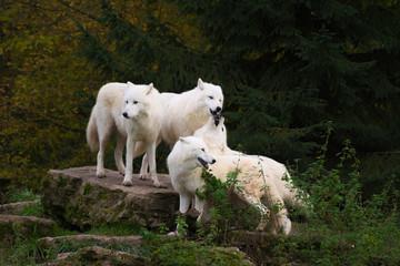 Arctic wolves - canis lupus arctos