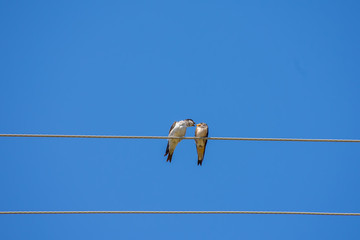 singing two birds on wire, blue sky background