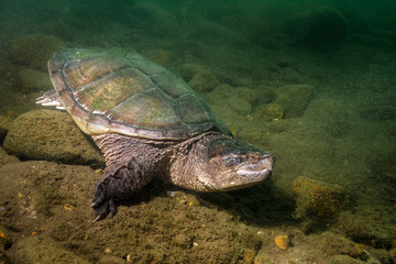 Snapping Turtle in Pond