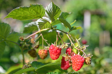 Branch of ripe  raspberries