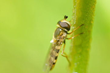 Food aphid fly with beautiful dew