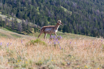 Pronghorn in Yellowstone