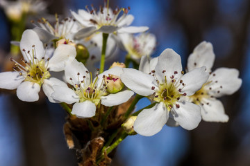 Close up of blooming white cherry blossom on branch
