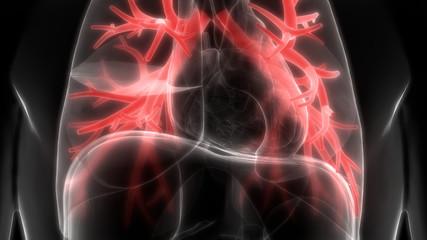 Human Lungs Inside Anatomy
