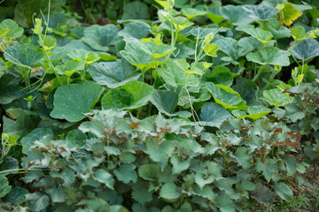 Green vegetable plants in growth at garden