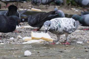 the pigeon eat bread on the ground