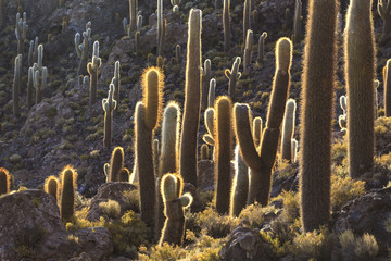 Cactus on the island Incahuasi, Uyuni Salt Flat, Bolivia