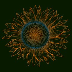 Vector colored sunflower.