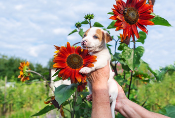 Adorable puppy in hand and sunflower in garden