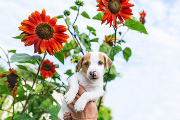 Adorable puppy in hand and sunflower in garden against the background of the sky