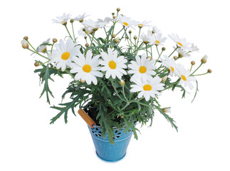 Lovely Daisies (Marguerite) perennials isolated on white background. Wall mural