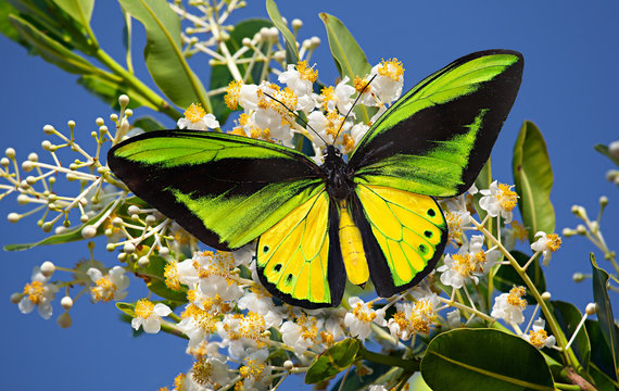 Butterfly Goliath birdwing or Ornithoptera goliath on the blossoming Alexandria laurel or Calophyllum inophyllum with the blue sky as the background