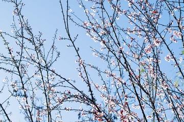 Cherry plum tree bloom. Branch of a purple leaf plum tree (Prunus cerasifera)