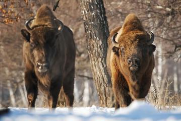 Fototapeta European Bison, Bison bonasus, Visent, herbivore in winter, herd, Slovakia