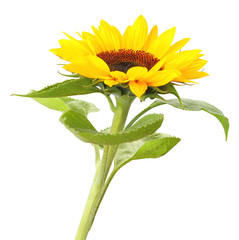 Wonderful Sunflower  isolated on white background, inclusive clipping path.