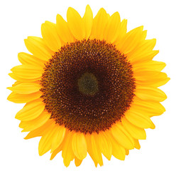 Wonderful Sunflower (Helianthus annuus, Asteraceae) isolated on white background, inclusive clipping path. Germany