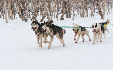 Kamchatka Sled Dog Racing Beringia,