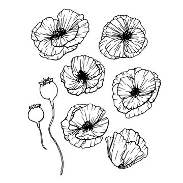 Poppies Flowers Hand Drawn Set. Line Art Contour Drawing Style. Isolated Vector Poppy Bud Illustration for Greeting Cards Design