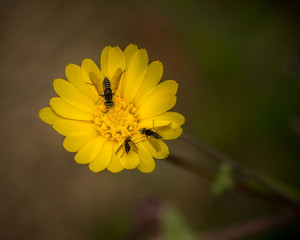 yellow flower with flies in spring, close up