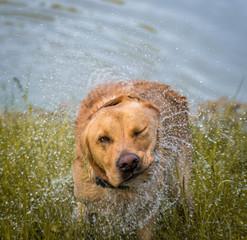 Hund der sich Schüttelt