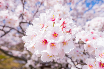 Beautiful cherry blossom with blue sky background. Sakura flower.