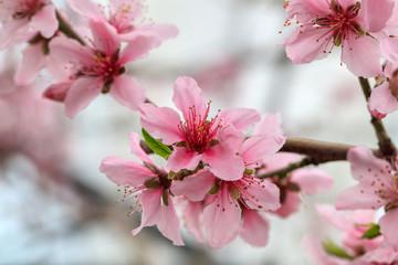 Peach Blossom - Spring of Japan -