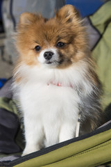 Small breed Pomeranian dog sitting on camping chair