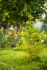 Fototapete - Green spruce on a suburban area with lawn, flowers and trees