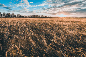 Fototapete - Rural landscape, wheat field at sunset