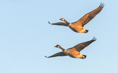 Canada Geese in Dawn Light - Branta canadensis