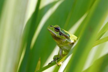 Europäischer Laubfrosch (Hyla arborea) im Schilf - European tree frog