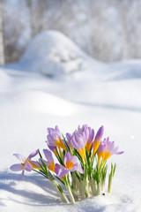 First blue crocus flowers, spring saffron in fluffy snow