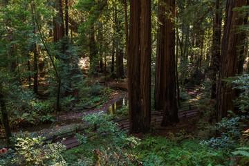 Muir woods National Monument near San Francisco in California, USA