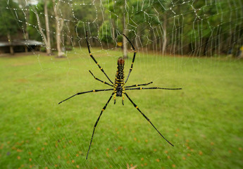 golden orb web spider  giant wood spider Nephila pilipes on web with  Dew drop