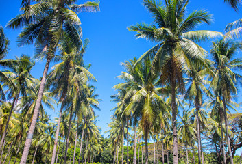 Tropical landscape with palm trees. Palm tree crowns with green leaves on sunny sky background.