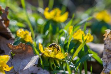 Frühlingsanfang, Schneeglöckchen, Scilla bifolia