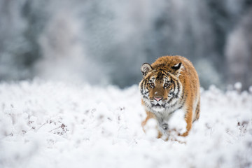 Wall Mural - Young Siberian tiger silently walking in snow fields towards the camera