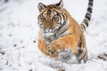 Wall Mural - Young Siberian tiger running  and jumping across snow fields