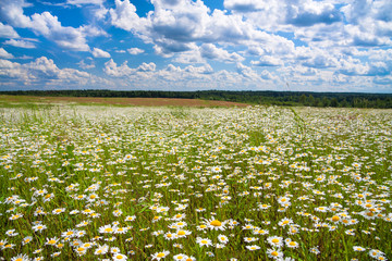 spring rural landscape with a flowering flowers on meadow