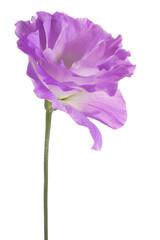 eustoma flower isolated